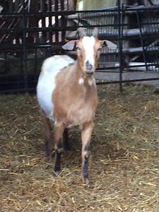 Alpine Boer cross doe
