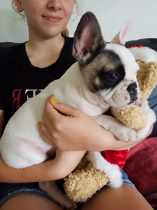 ANKC registered French bulldog puppies