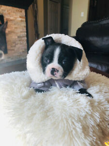 Chiot Boston terrier
