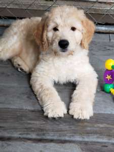 Doodle Puppies Low shed/crate trained, 4 Year Warranty