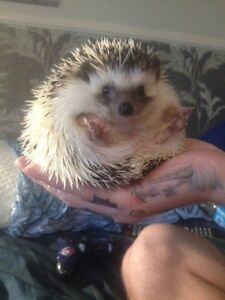 6 month old hedgie for sale