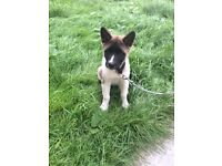 Akita Puppy for sell