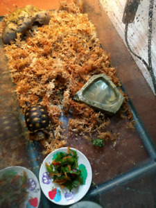 Baby redfoot tortoise for sale / trade