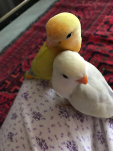 2 lovebirds looking for a new home