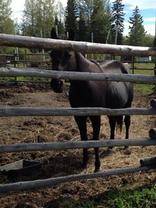 Quarter horse for sale or trade Prince George British Columbia image 4