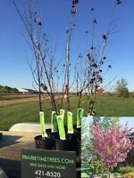 Clearance  Thundercild Flowering Crab Trees