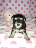 Fluffy Toy Morkie Call or text  416-5574038