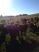 Interested in cows to lease.