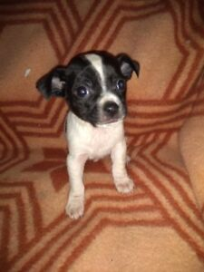Teenie tiny JRT (jack Russell) x chi pups looking for home