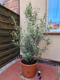 Bushy Olive tree Olea Europea 150cm High