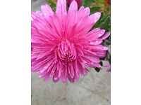 Chrysanthemums or African daisy hardy perennial