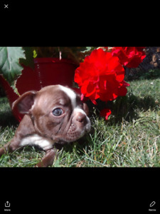 Red Boston Terrier  (READY TO GO )