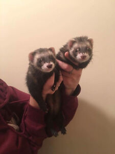 Two female ferrets with cage and accessories