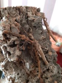 Sungaya stick insects