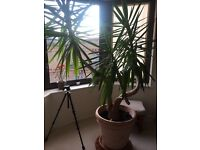 Amazing Price!Yucca plant with terracotta pot