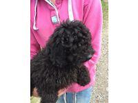 Miniature Black Poodle
