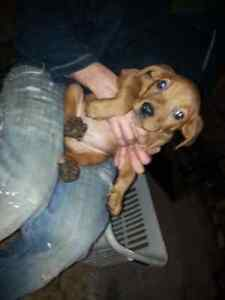 5 Christmas pups still available  Peterborough Peterborough Area image 6