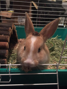 Friendly Dutch mix Male Rabbit for sale