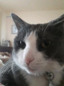 A DONNER DEUX chats blanc et gris dans Laurentides