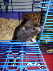 FREE 2 black male syrian male hamster without  cage