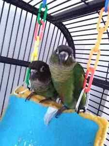 *yellow sided pineapple turquoise conures, Variety of colours*~*