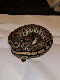Ball Python Collection For Sale