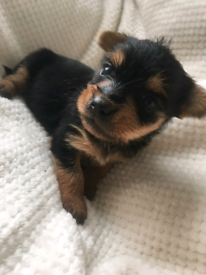 female yorkshire terrier puppie ready now