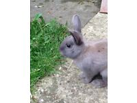Rabbit for sale only £5