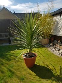 Cordilin plant