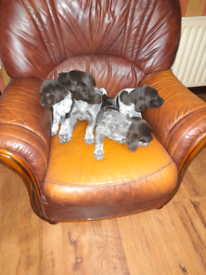 German pointer pups