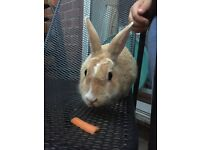 2 year old rabbit for sale