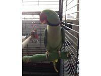 Aexandrine parrot for sale