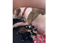 Full pedigree American bulldog pups