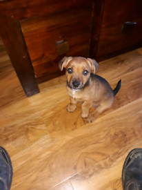 Jack Russell cross with Lakeland terrier