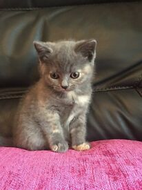 Beautiful pedigree British shorthair kittens
