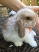 Pedigreed holland lop - fuzzy lop- lionheads for sale