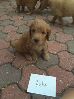 Goldendoodle puppies, raised in home
