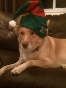 Harley is a 3 year old Lab/Husky mix who'd love to find his fore