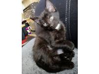 8 weeks old male kitten for sale