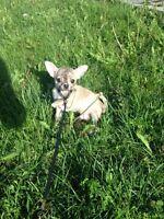 Petit mâle chihuahua prêt a rejoindre sa nouvelle famille!