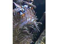 🐠 Marine fancy Picasso clownfish for reef fish tank aquarium