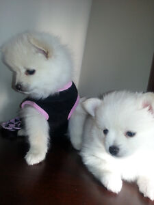 One Female White  Tiny Toy Purebred  Pomeranian Puppy For Sale