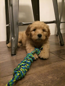 NEXT LITTER f1 goldendoodles will be ready for Christmas!