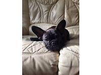 Beutiful Chocholate French Bulldog puppy boy