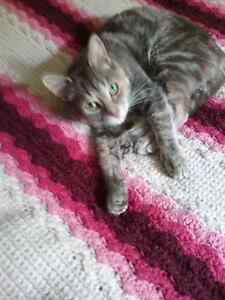 Free 2 year old Female Stripped Tabby Cat
