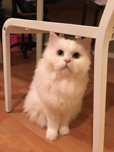 rehoming 2 years old male white cat
