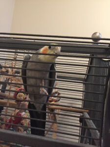A very smart and lovable cockatiel bird for sale