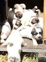 Adorable Saintbernard/Pyrenees puppies
