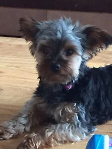 11 month old pure bred CKC Yorkie
