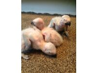 Baby African greys
